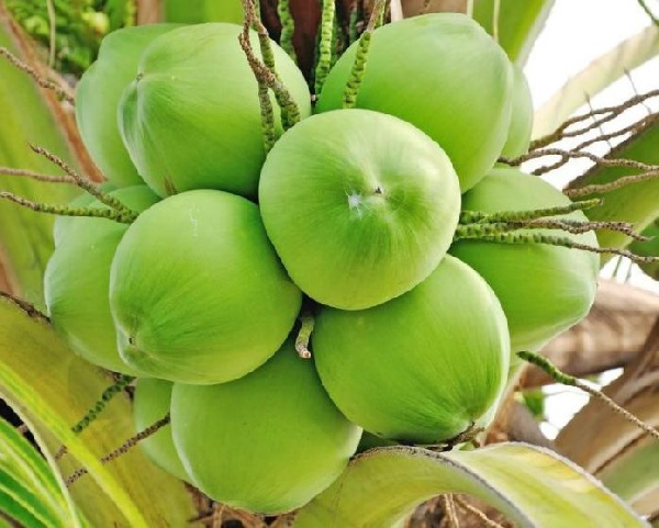 Coconut prices surge in Koforidua as demand slumps