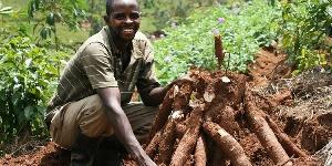 Cassava Farming In Ghana1421