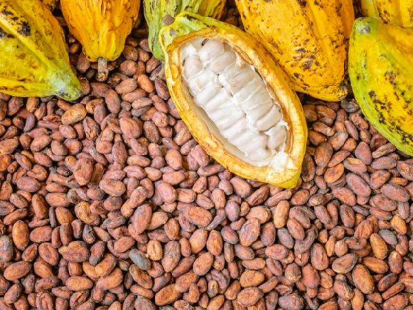 The government currently buys one bag of cocoa beans from farmers at GH