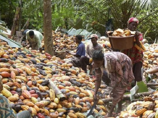 94% of cocoa farmers not satisfied with producer price for cocoa - Survey