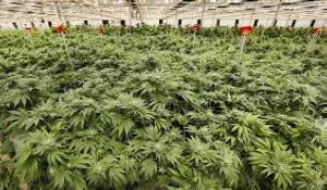 Growing Marijuana New