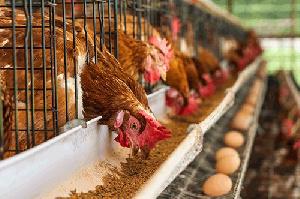 Poultry Ban