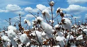 Cotton PricesNEW