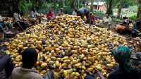 Farmer gather to harvest seeds from cocoa
