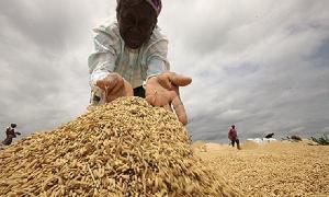 Rice Production Ghana 67