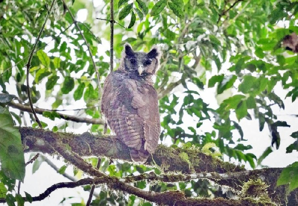 Researchers spot enormous owl that has eluded eyes for 150 years at Atewa Forest
