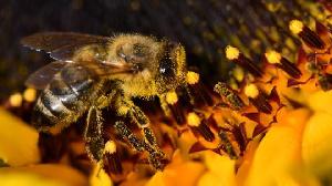 Brazilian Bees