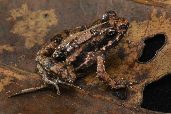 CSIR scientist discovers a new frog species to Science