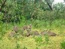 Wart Hogs ( mole National Park), T.Turschmidt