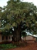 Eldest baobab in Ghana, Ragna Meul