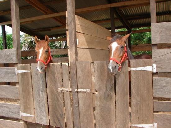 Horses in Ada