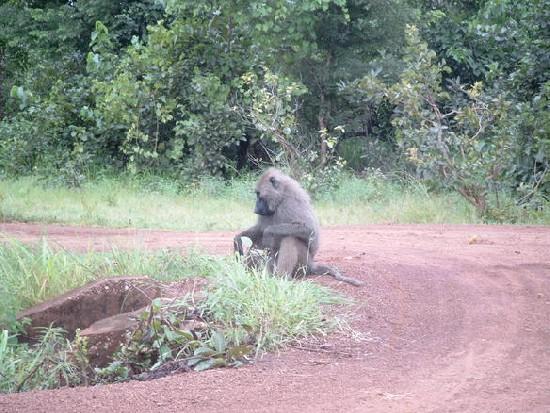 baboon (Mole National Park)