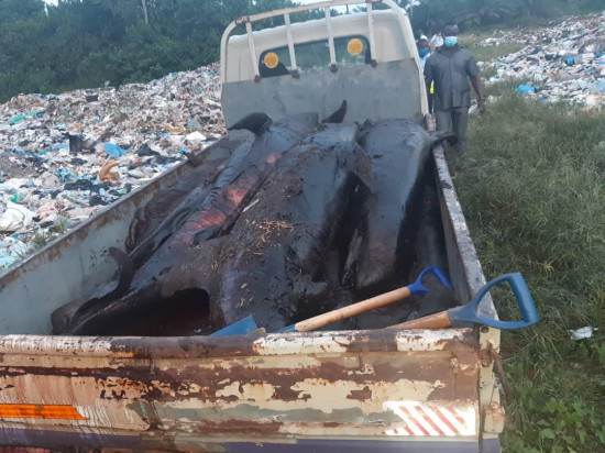 PHOTOS: Smoked dolphins seized as MCE swoops on Axim fishmongers. 10