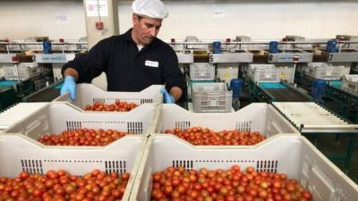 Cherry tomatoes could cost 10% more 'within a week of Brexit'