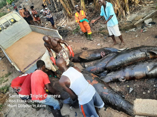 PHOTOS: Smoked dolphins seized as MCE swoops on Axim fishmongers. 12